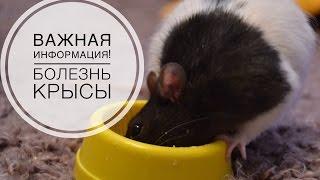 Важная информация   Крыса заболела  