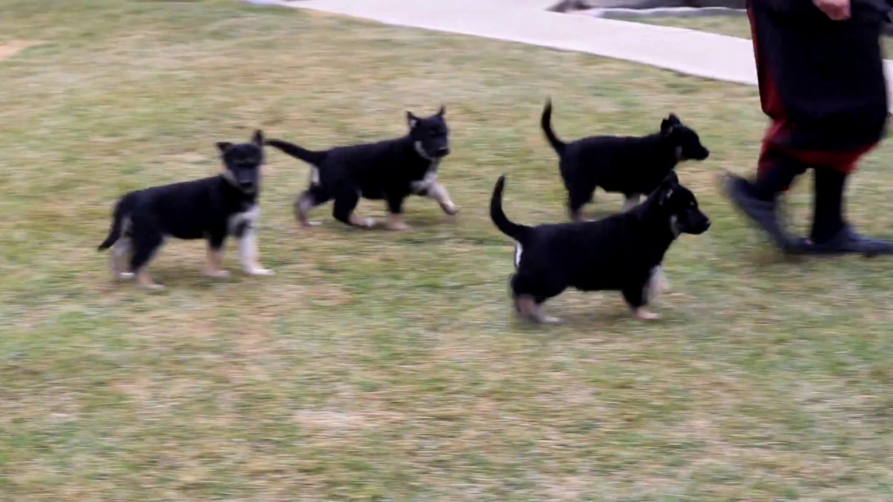 Gerberian Shepsky Puppies For Sale Youtube