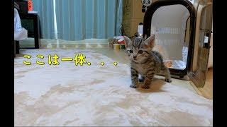 生後一ヶ月の子猫が初めてお家に来た時の反応 The reaction when the baby kitten first came to the house thumbnail