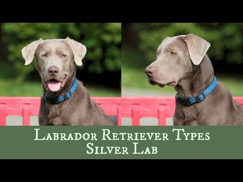 Silver Labrador Retriever - Is It Right For Your Family?