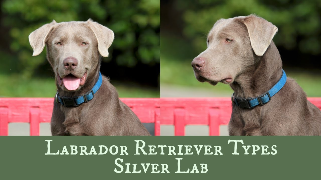 Silver Lab Vs Weimaraner The