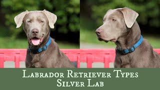 Silver Labrador Retriever  Is It Right For Your Family?