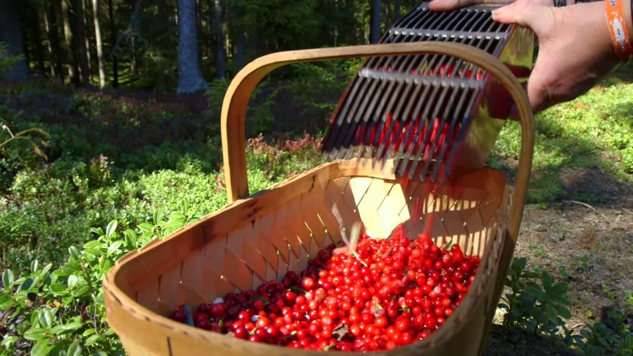 swedish lingonberries a living tradition youtube. Black Bedroom Furniture Sets. Home Design Ideas