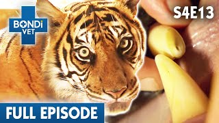 🐯 Tiger Tooth Ache | FULL EPISODE | S04E13 | Bondi Vet