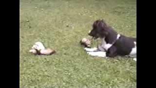Springer Spaniel Dog Nursing The Ferret Puppies (amazing Funny)