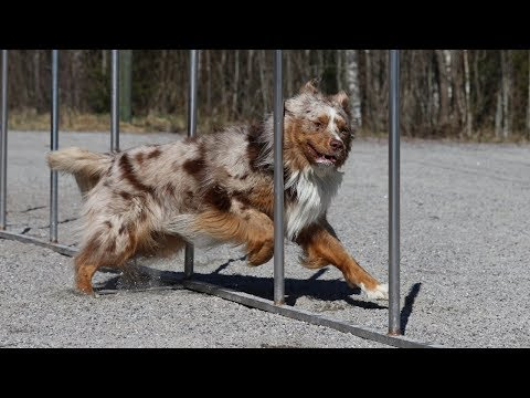 Pekka the Australian Shepherd in Agility Competition