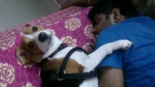 Cute Beagle Dogs Waking Up His Owner - Funny Dog Compilation