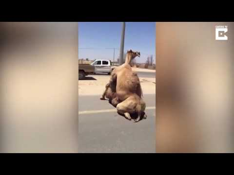 Two camels mating in the middle of a motorway in Dubai