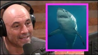 Joe Rogan on Shark Attacks