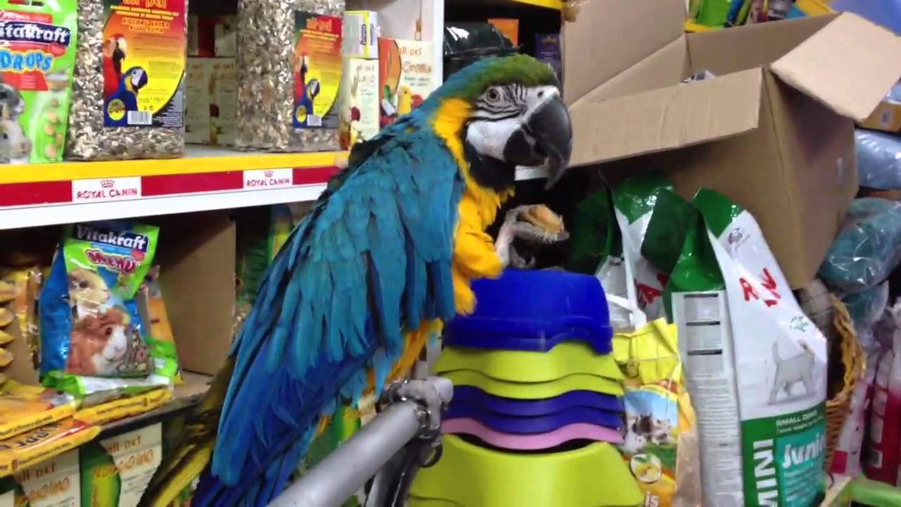 Gioco pappagallo parlante