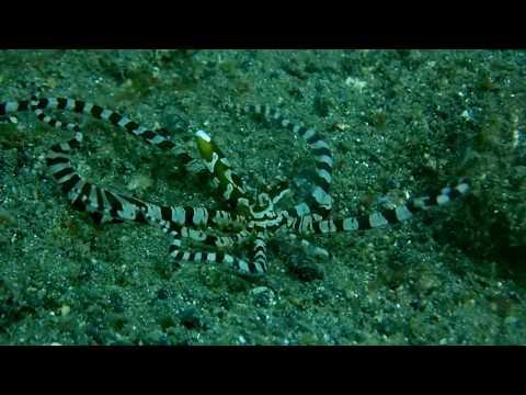 Wonderpus Octopus at Lembeh