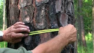 Measuring tree diameter usİng a diameter tape