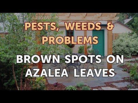 Brown Spots on Azalea Leaves