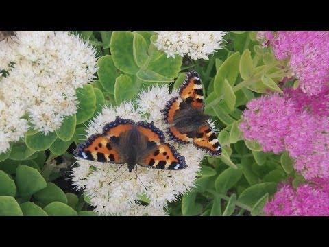 Spectacular Butterfly display on Sedum