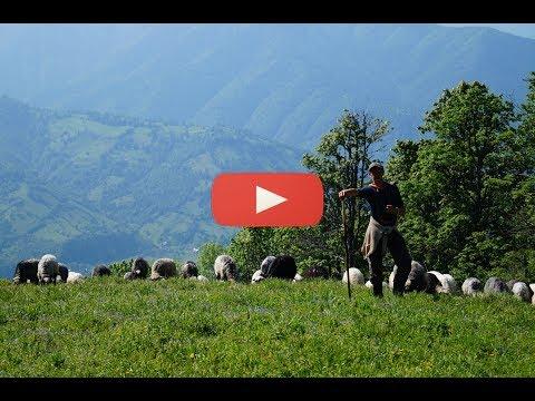 Один день вівчарства