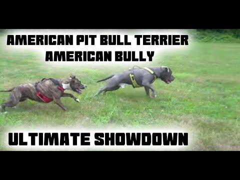 American Pit Bull Terrier VS American Bully Ultimate Showdown!!