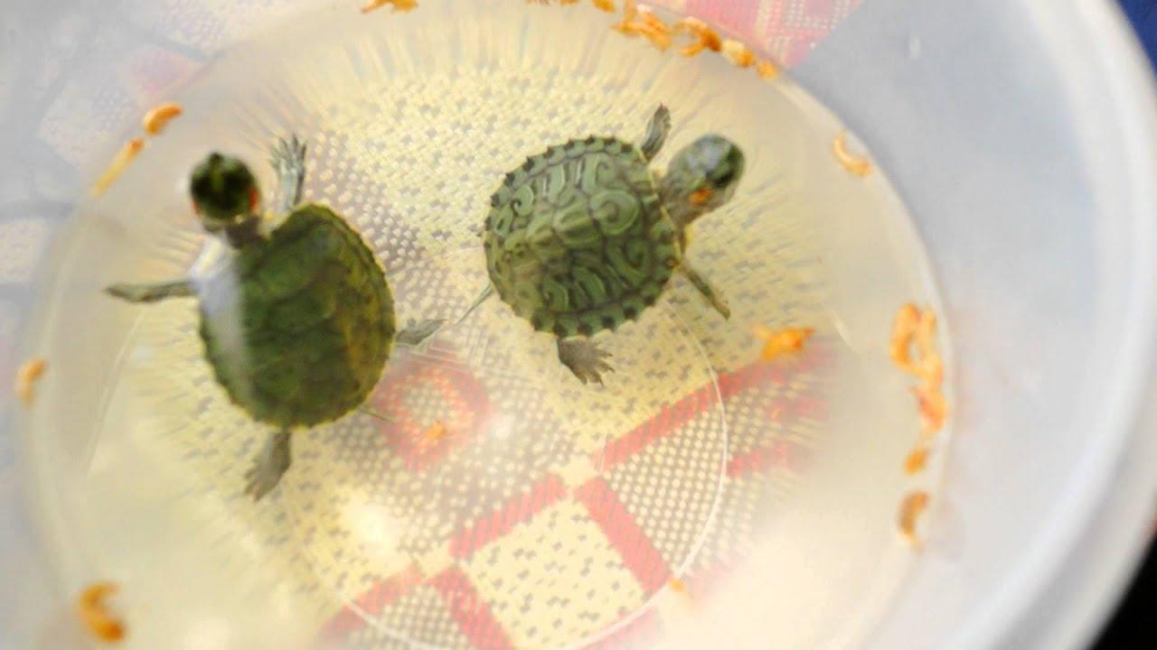 Чем кормить красноухую черепаху в домашних условиях. Cписок. | 720x1280