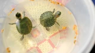 кормёжка молодняка красноухой черепахи!