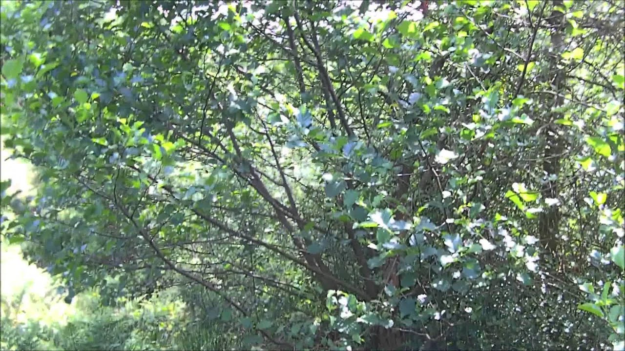 Identification Of The Alder Tree Youtube