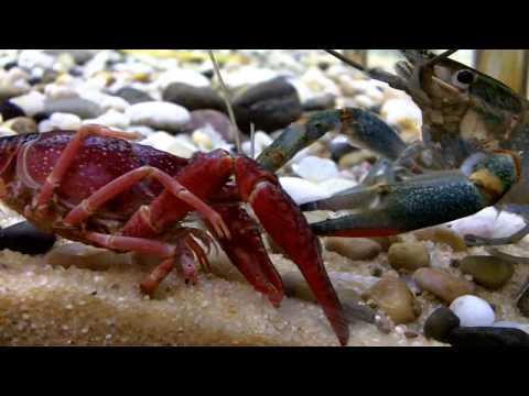 crayfish (lobster)  fight