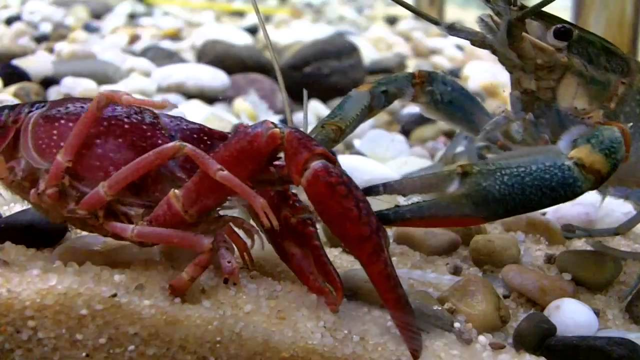 crayfish (lobster) fight - YouTube