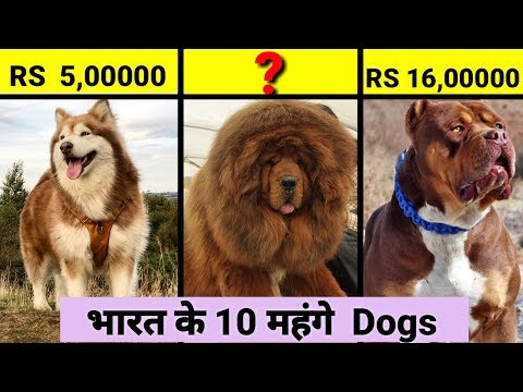 Top 10 Expensive Dogs In India / In Hindi / Expensive Dogs breeds