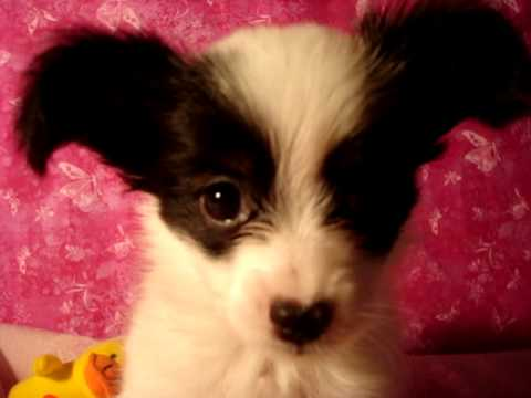 Papillon puppies for sale in northern california
