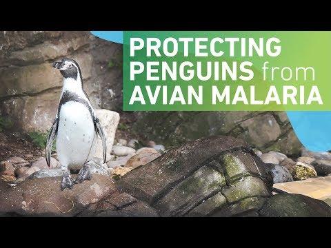 Protecting penguins from avian malaria