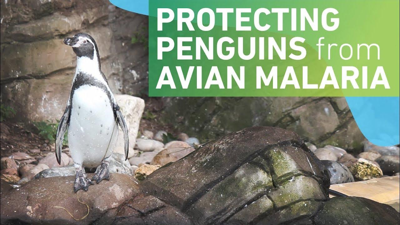 Protecting penguins from avian malaria   Microbiology Society
