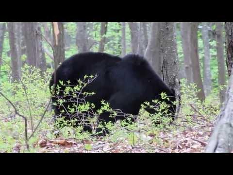 Black Bear in Delaware Water Gap Recreation Area, New Jersey