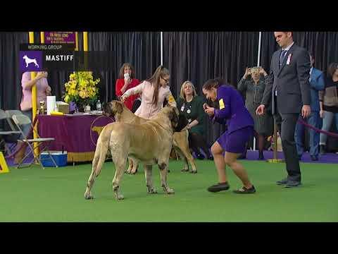 Mastiffs | Breed Judging 2019