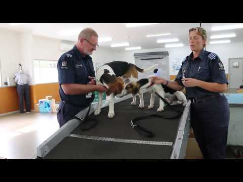 Harrier puppies train as biosecurity dogs