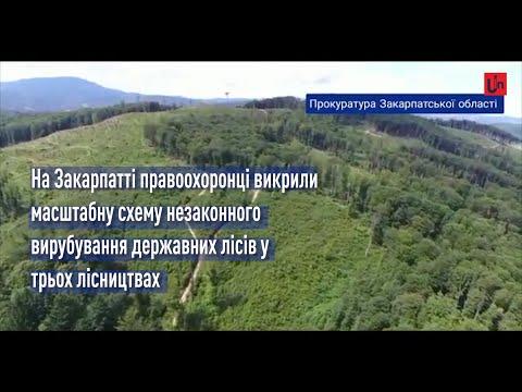 Незаконна вирубка лісу в Карпатах. Відео