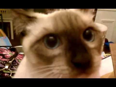 Dangerous Psycho Siamese Cat Attacks Computer -- Cica