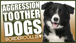 AGGRESSIVE BORDER COLLIE TRAINING! How To Train Aggressive Border Collie Puppy!