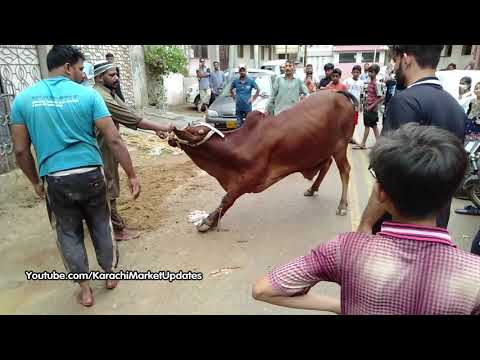 Qurbani Collection 2019 | Best Cow Qurbani in Karachi | Eid Ul Adha Qurbani | Karachi Market Updates