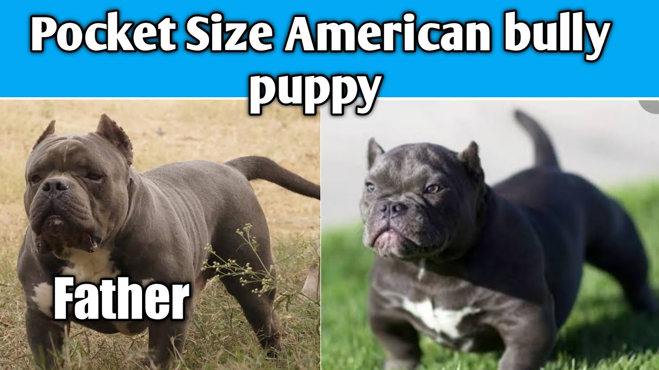 Pocket Size American Bully Puppies Available Cheapest Price Call