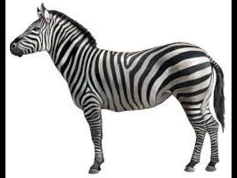 zebra youtube