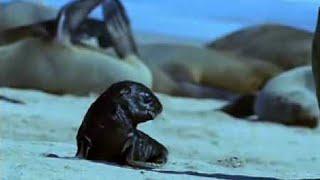 Cape fur seal pups v black back jackalls - Dune - BBC wildlife