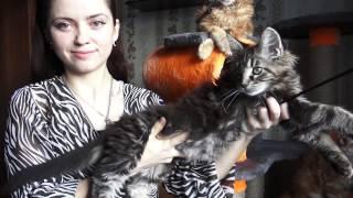 ЛИРИКУМ Айдас Мордович 3 мес. старотипный котенок мейн-кун