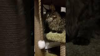 Котята гигантской породы Мейн кун свободна Гвендолин 07.01.19г.р. и другие