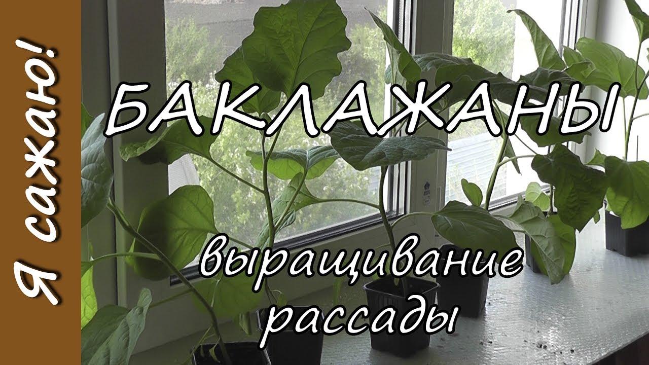 БАКЛАЖАНЫ. Выращивание рассады. Я сажаю. - YouTube
