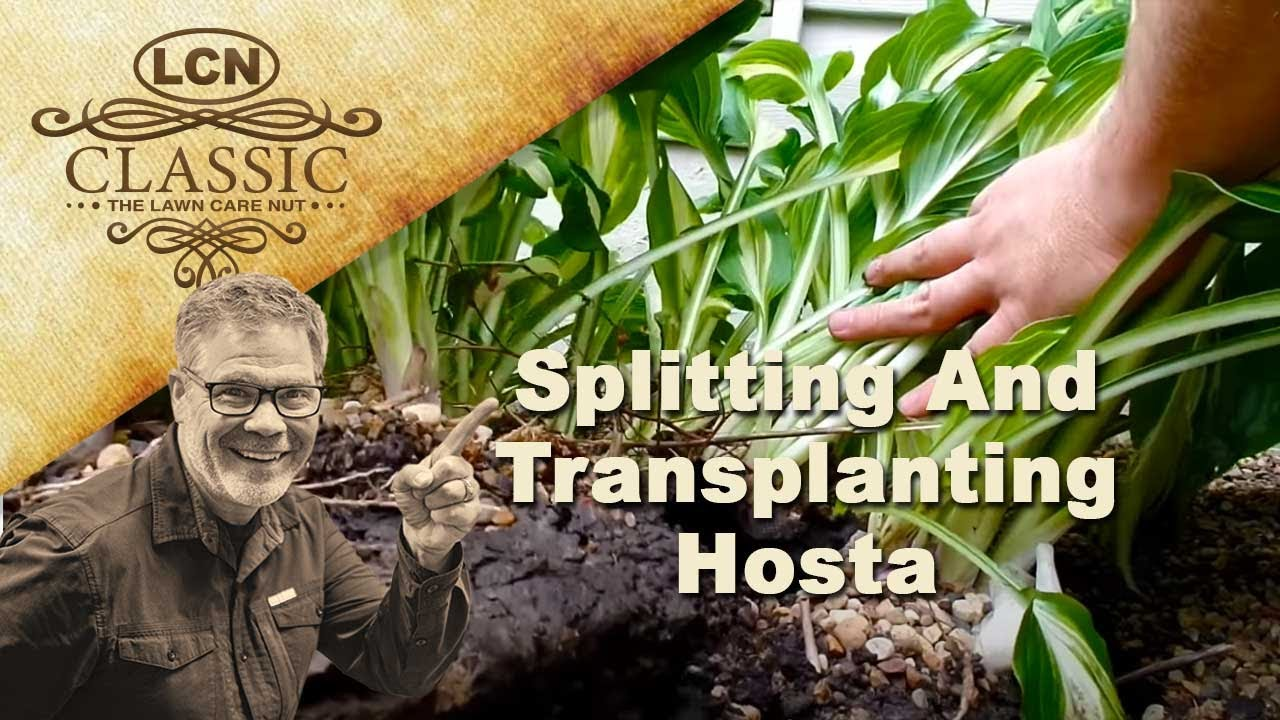 Splitting And Transplanting Hosta Step By Step Youtube