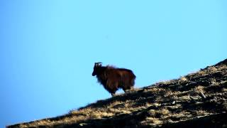 Tahr Bull - West Coast New Zealand - Whats Your Length Estimate?