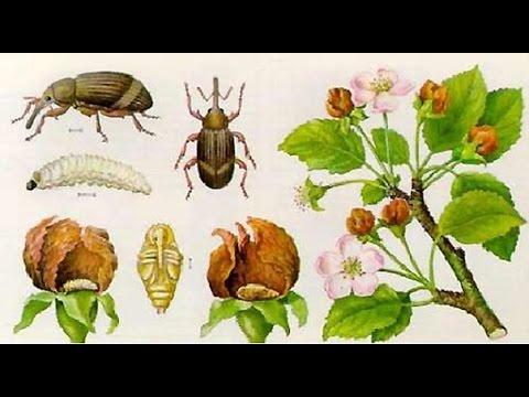 Первые насекомые вредители и борьба с ними. | опрыскивание | деревьев | дача | сад