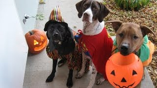 Cats and dogs wearing Halloween costumes - Funny and cute animal compilation