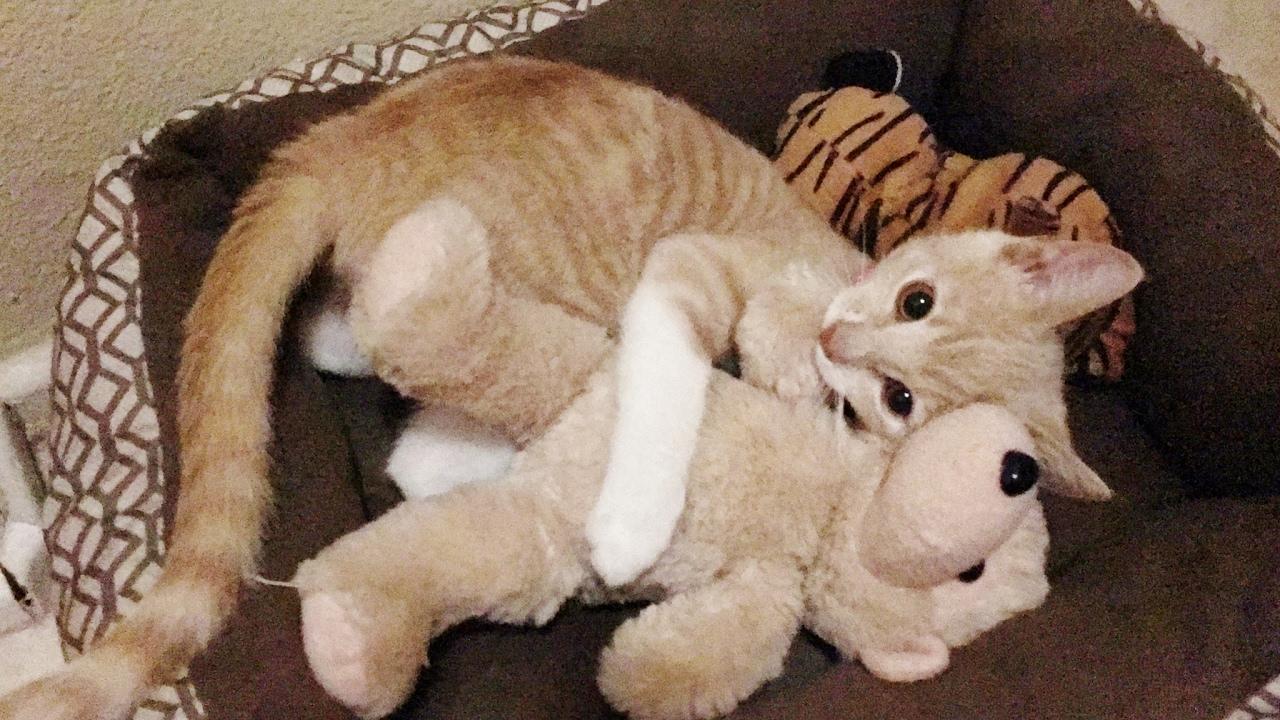 Giant Shark Plush, Kitten Play With Stuffed Animals Kitten Toys Youtube