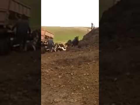 Прокуратура проверила агрофирму на которой коров вывалили из грузовика
