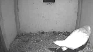 Mrscbo Checks Out The Nestbox - The Barn Owl Trust