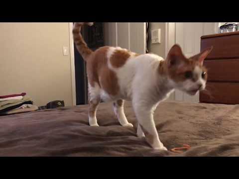 Charlie the Devon Rex cat still fetches at age 2 1/2